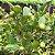 AMEIXA da ÍNDIA ( Flacourtia jangomas )  - Imagem 3