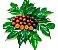 AMEIXA da ÍNDIA ( Flacourtia jangomas )  - Imagem 4