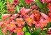 Muda Cipó Cruz (Bignonia capreolata) RARO  - Imagem 1