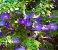 Muda de Thumbergia Arbustiva Azul - Thunbergia Erecta - Imagem 1