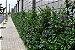 Muda de Thumbergia Arbustiva Azul - Thunbergia Erecta - Imagem 4