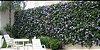 Muda de Thumbergia Arbustiva Azul - Thunbergia Erecta - Imagem 3