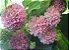 Muda de Dombéia Rosa Astrapéia(ATRAI ABELHAS) - Imagem 2