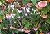 Muda de Dombéia Rosa Astrapéia(ATRAI ABELHAS) - Imagem 4