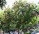 Muda de Dombéia Rosa Astrapéia(ATRAI ABELHAS) - Imagem 3