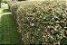 Mudas Da Flor Abélia Cor Branca - Já Florem - Atrai Abelhas - Imagem 3