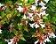 Mudas Da Flor Abélia Cor Branca - Já Florem - Atrai Abelhas - Imagem 1