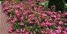 Muda mini rosa arbustiva Cor Pink(Rosa)  Enxertada  - Imagem 1