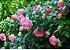 Muda mini rosa arbustiva Cor Pink(Rosa)  Enxertada  - Imagem 3
