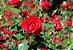Muda mini rosa arbustiva Cor vermelha escuro   Enxertada  - Imagem 1