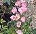 Muda mini rosa arbustiva Cor Pink    Enxertada  - Imagem 1