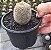 Muda Cacto Almofada de Alfinetes - Mammillaria Pote 3 - Imagem 1