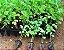 Kit 25 mudas Sansão do campo (Mimosa caesalpiniifolia cerca viva - Imagem 3
