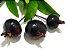 MUDA PITANGA NEGRA SELVAGEM PARA VASO ( Eugenia sulcata ) Exótico - Imagem 1
