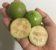 MUDA ARAÇÁ GIGANTE ou AÇU ( Psidium arboreum )Nativo da Amazônica - Imagem 1