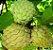 A Fruta do Conde ou Pinha enxertada  - Imagem 1