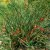 Efedra (Ephedra sinica) - 5 sementes para cultivo - Imagem 2