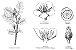 Tribulus (Tribulus terrestris) - Em pó ou cápsulas - Imagem 4