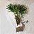 Raphis Excelsa 1,60m Vaso de Vidro - Imagem 1