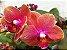 Phalaenopsis Orange Love - Imagem 5