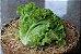 Alface Crespa Verde orgânica - Unidade - Imagem 1