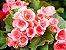 Begonia Sol - Cx. - Imagem 1