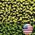 LÚPULO US CHINOOK PELLET T-90 SAFRA 2019 - Imagem 1
