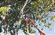 Tesoura Poda 43cm cabo madeira - Imagem 1
