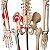 Esqueleto de 85 cm, Articulado, com Inserções Musculares, com Base - Imagem 5