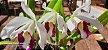 Laelia Purpurata Oculata - Imagem 1