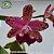 Cattleya LC Durigan Big Spots - Imagem 3