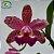 Cattleya LC Durigan Big Spots - Imagem 1