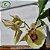 Catasetum Pileatum Brunai - Imagem 1