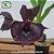 Catasetum Andorinha  - Imagem 1