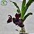 Catasetum Andorinha  - Imagem 3