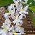 Rodriguezia Venusta - Imagem 1