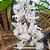 Rodriguezia Venusta - Imagem 6