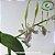 Dendrobium Antennatum - Imagem 4
