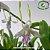 Dendrobium Antennatum - Imagem 1