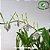 Dendrobium Antennatum - Imagem 5