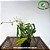 Dendrobium Antennatum - Imagem 2