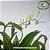Dendrobium Antennatum - Imagem 3