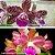 Cattleya Blc. Tatarown x Cattleya Corcovado - Imagem 1