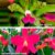 Cattleya Guttata x Cattleya Primeiro Amor - Imagem 1