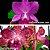 Cattleya Aloha Case x Cattleya Durigan - Imagem 1