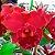 Potinara Red Crab Kuan Miao - Imagem 1