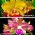 Cattleya Tatarown x Cattleya Amarela - Imagem 1