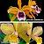Cattleya Waikiki Gold x Cattleya Tenebrosa - Imagem 1