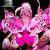 Cattleya Amethystoglossa - Imagem 1