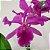 Cattleya Labiata Tipo - Imagem 4